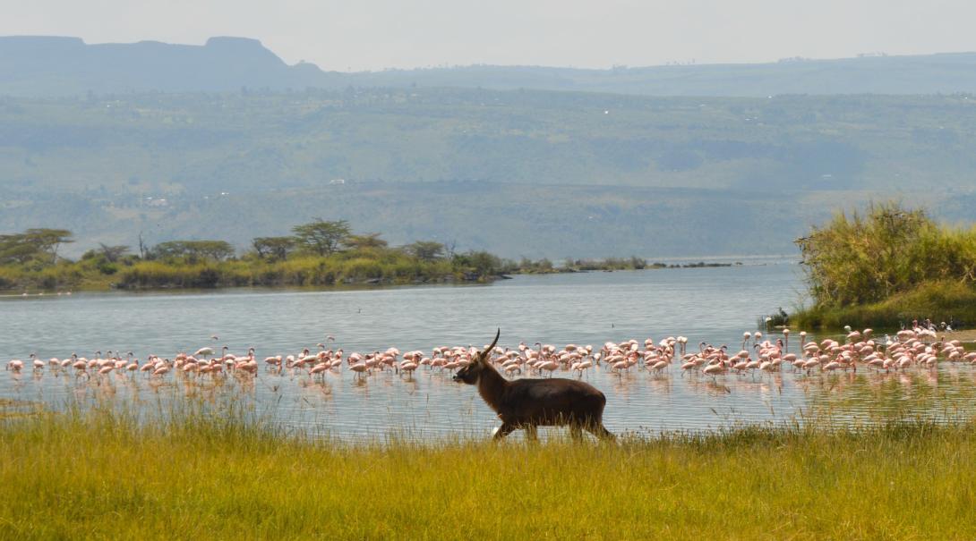 En antilop promenerar längs med Lake Nakuru med flamingos i bakgrunden på ett volontärprojektet i Afrika.